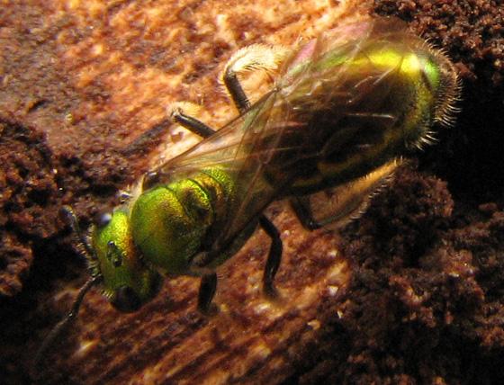 Augochlorini larvae - Augochlora pura - female