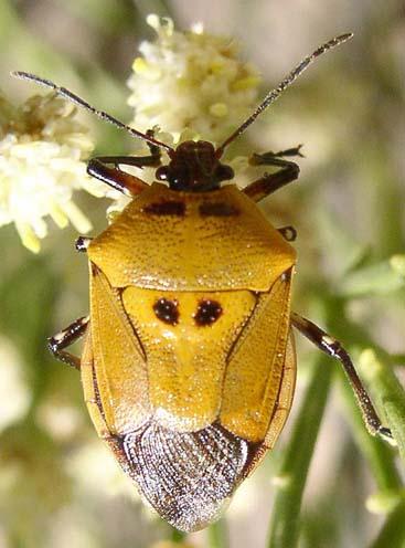 Orange Stinkbug with Two Black Spots - Oplomus mundus