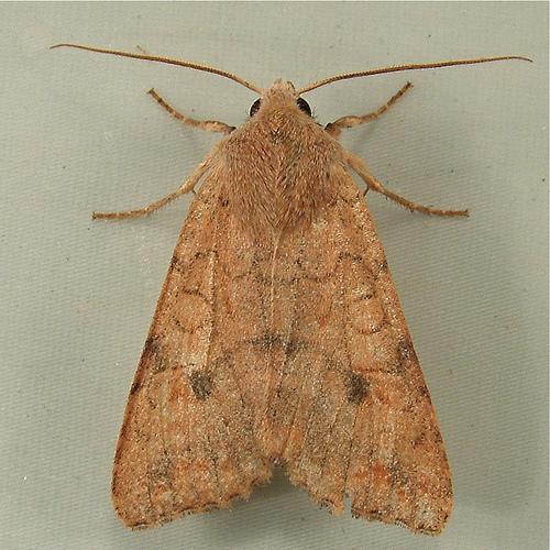 1351 Agrochola verberata - Battered Sallow Moth 9960 - Sunira verberata