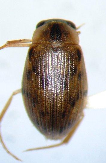 Berosus pugnax? - Berosus pugnax - female