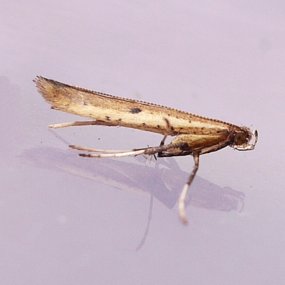moth - Caloptilia violacella