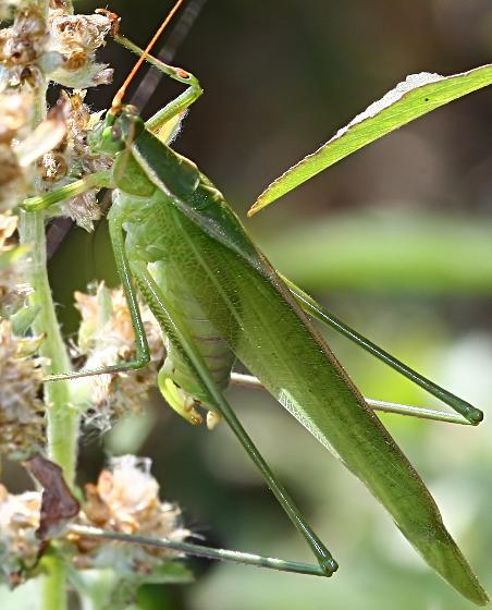Bush Katydid (Scudderia cuneata) male - Scudderia cuneata