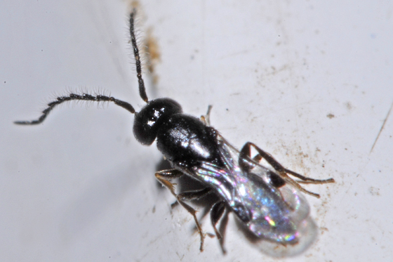 unknown wasp - Dendrocerus - male