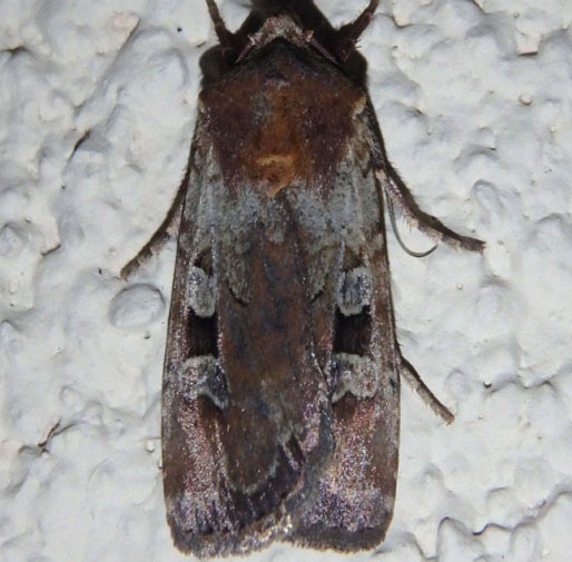Dart Moth - Euxoa basalis