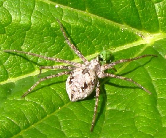 spider - Philodromus alascensis