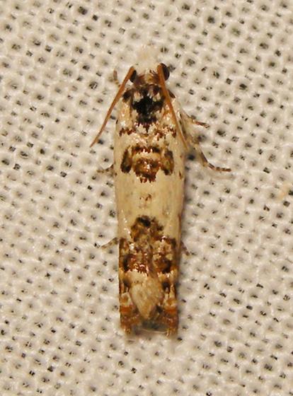 ornate eucosma - Eucosma ornatula
