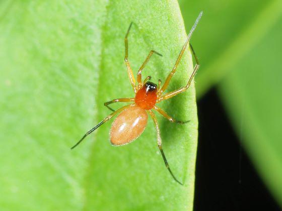 Spider Black Red Peach