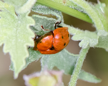 Leaf beetle - Jonthonota nigripes