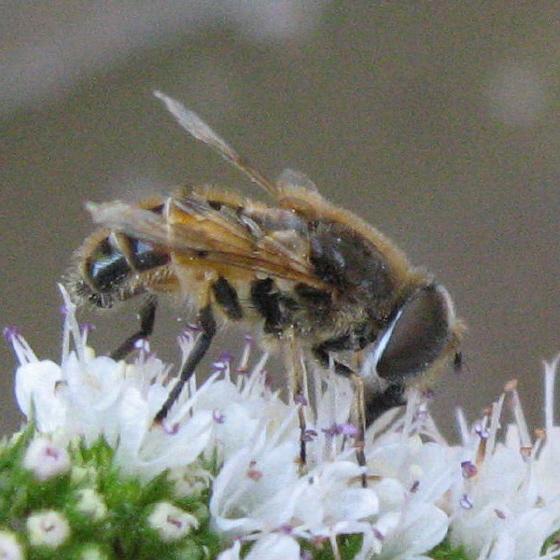 Syrphidae 04c - Eristalis arbustorum - male