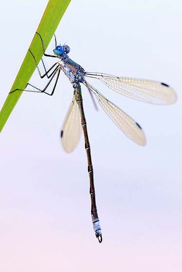 Lestes eurinus - Amber-winged Spreadwing - Lestes eurinus - male