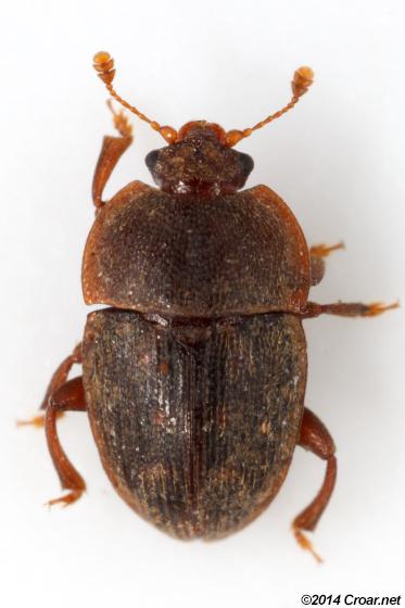 Stelidota octomaculata