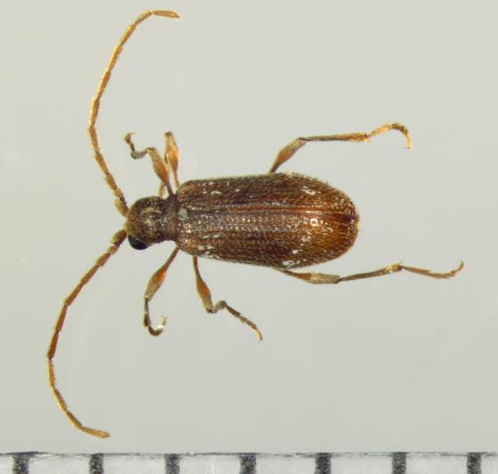 Ptinidae, dorsal  - Ptinus fur - male
