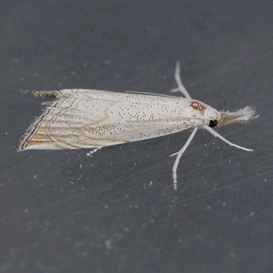 5482   - Haimbachia squamulellus
