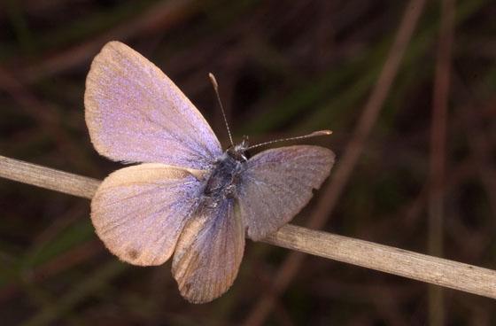 Nickerbean Blue - Cyclargus ammon - female