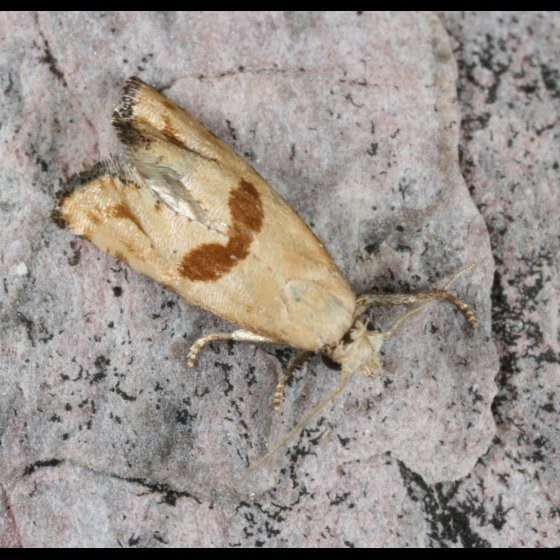Moth 11 - Eugnosta brownana