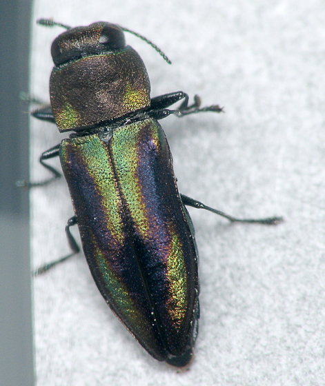 Metallic Wood-boring Beetle - Anthaxia quercata