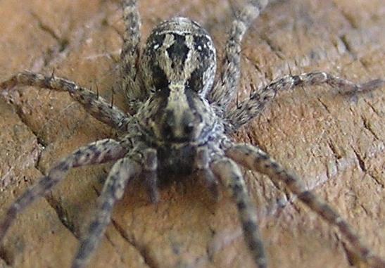 Field Spider - Schizocosa