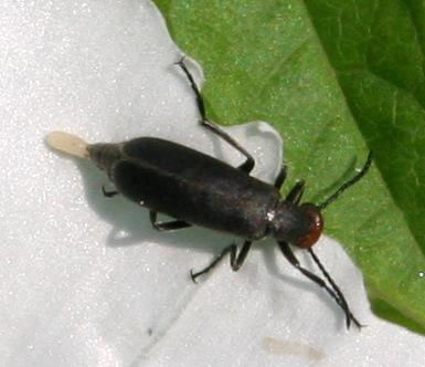 Beetle ID Request - Epicauta atrata
