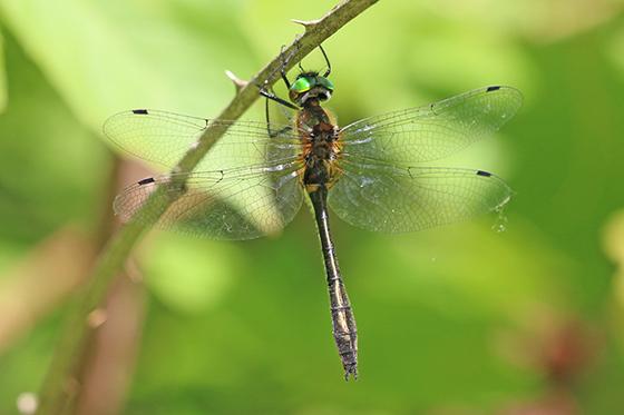 Dorocordulia libera - Racket-tailed Emerald - Dorocordulia libera - male