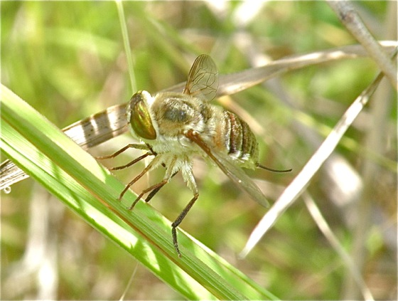 Tangle-veined Fly - Neorhynchocephalus volaticus - female