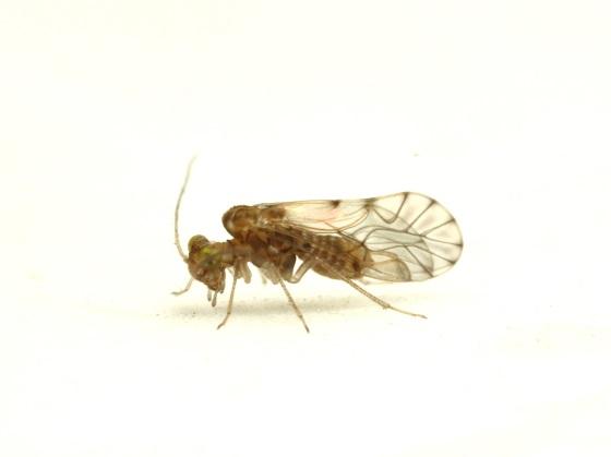 Lachesilla nita - male