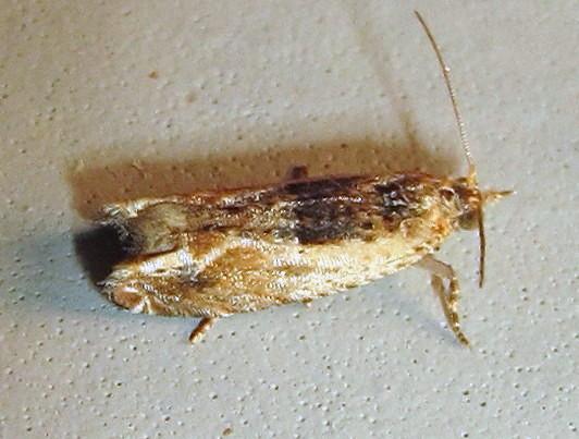 Hodges #3274 - Cotton Tipworm Moth - Crocidosema plebejana