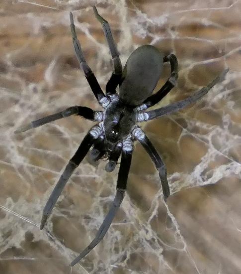 southern house spider - Kukulcania hibernalis - female