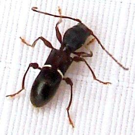 Long-horned Beetle - Euderces picipes