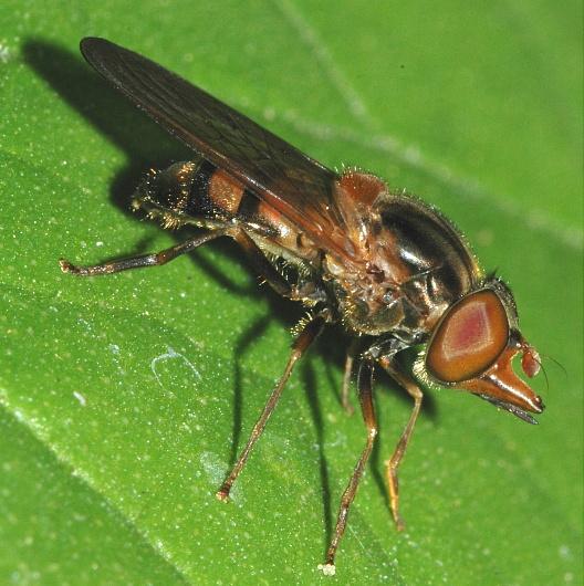 Syrphid Fly? - Rhingia nasica - female