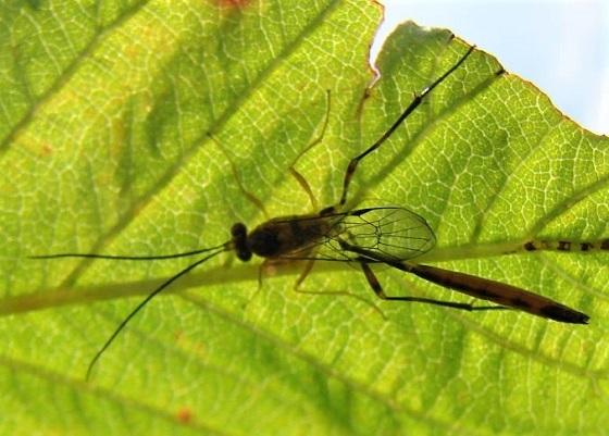 Ichneumon Wasp (?) - Eiphosoma - male