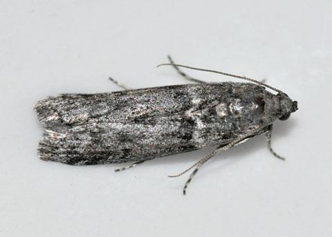 Acorn Moth - Myelopsis subtetricella