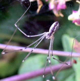 Cellar Spider Outdoors - Holocnemus pluchei