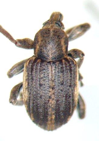 Hypera zoilus - Donus zoilus