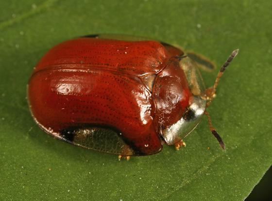 tortoise beetle - Charidotella emarginata
