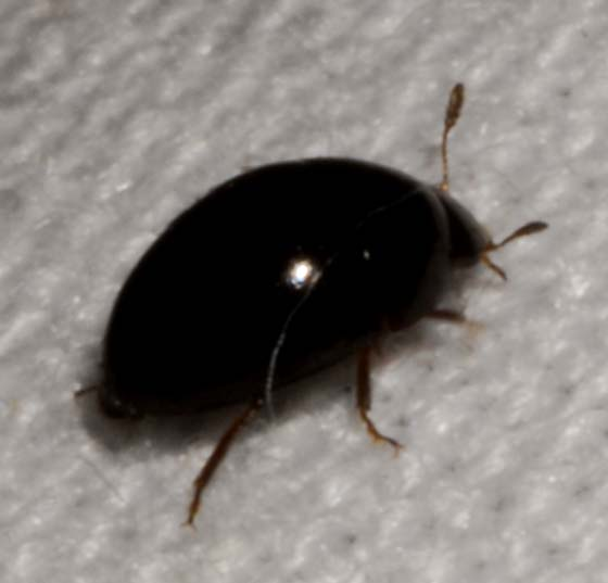 Tiny Black Border Beetle Phalacrus