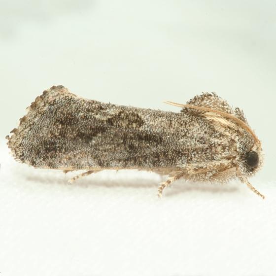 Moth - Acrolophus
