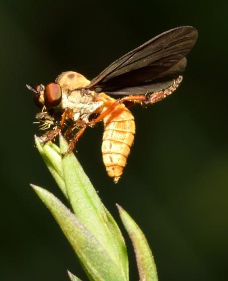 7jul2012-dip1 - Holcocephala abdominalis