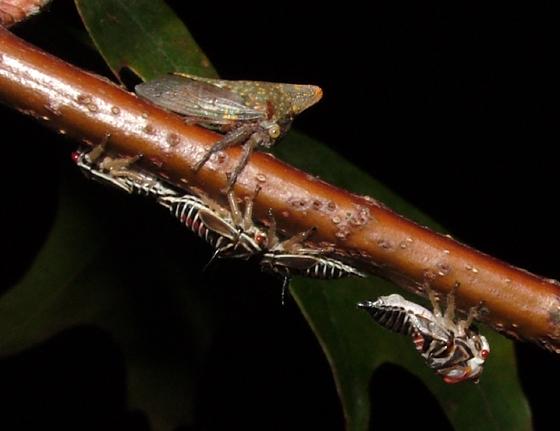 Oak Treehopper - Platycotis vittata - male - female