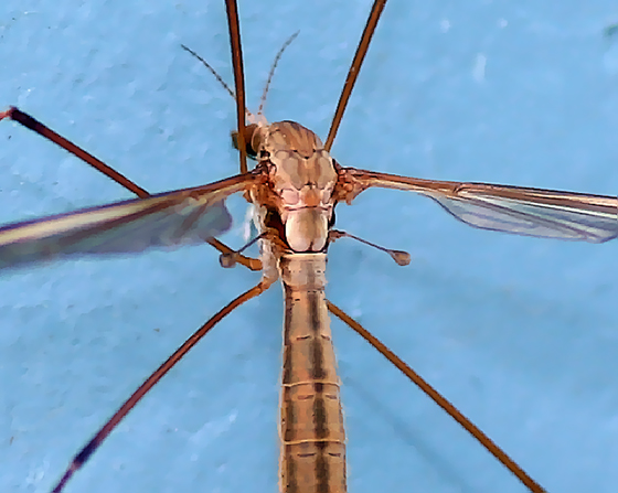 Female Crane Fly, Possibly the same species as the male that I posted a few days ago - Bay Area, California. - Tipula