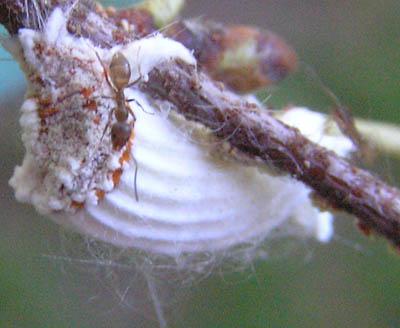 Cottony Cushion Scale? - Icerya purchasi
