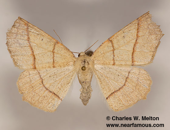 Besma sesquilinearia - female