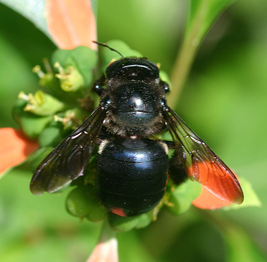 Southern Carpenter Bee - Xylocopa micans - female