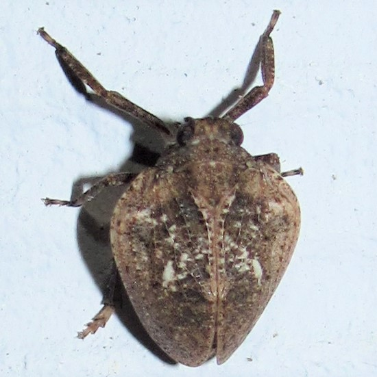 Broad Issidae - Paralixes scutatus