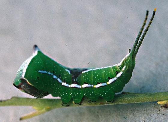 Black-Etched Prominent Larva, 5th instar - Tecmessa scitiscripta