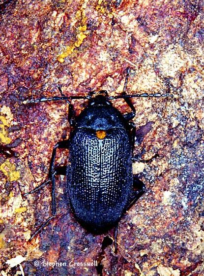 False Darkling Beetle - Penthe obliquata