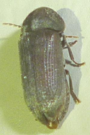 Ptinidae - Euvrilletta