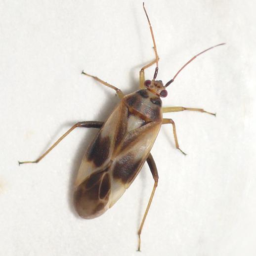 Mirid - Orthotylus ornatus - female