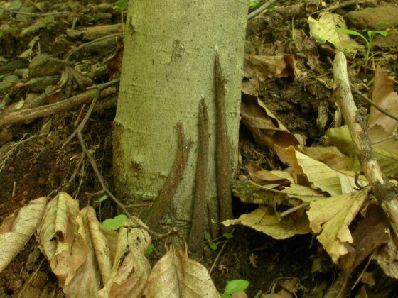 Four tubes (purse-webs) on a single small beech tree - Atypus snetsingeri