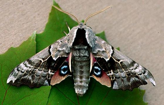 One-Eyed Sphinx - Smerinthus cerisyi