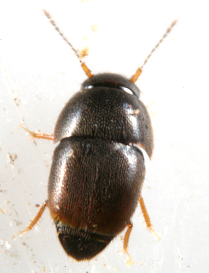 Feather-winged  Beetle - Acrotrichis